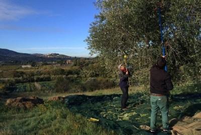 WIKI HOSTEL FAMILY pantasema olives harvest