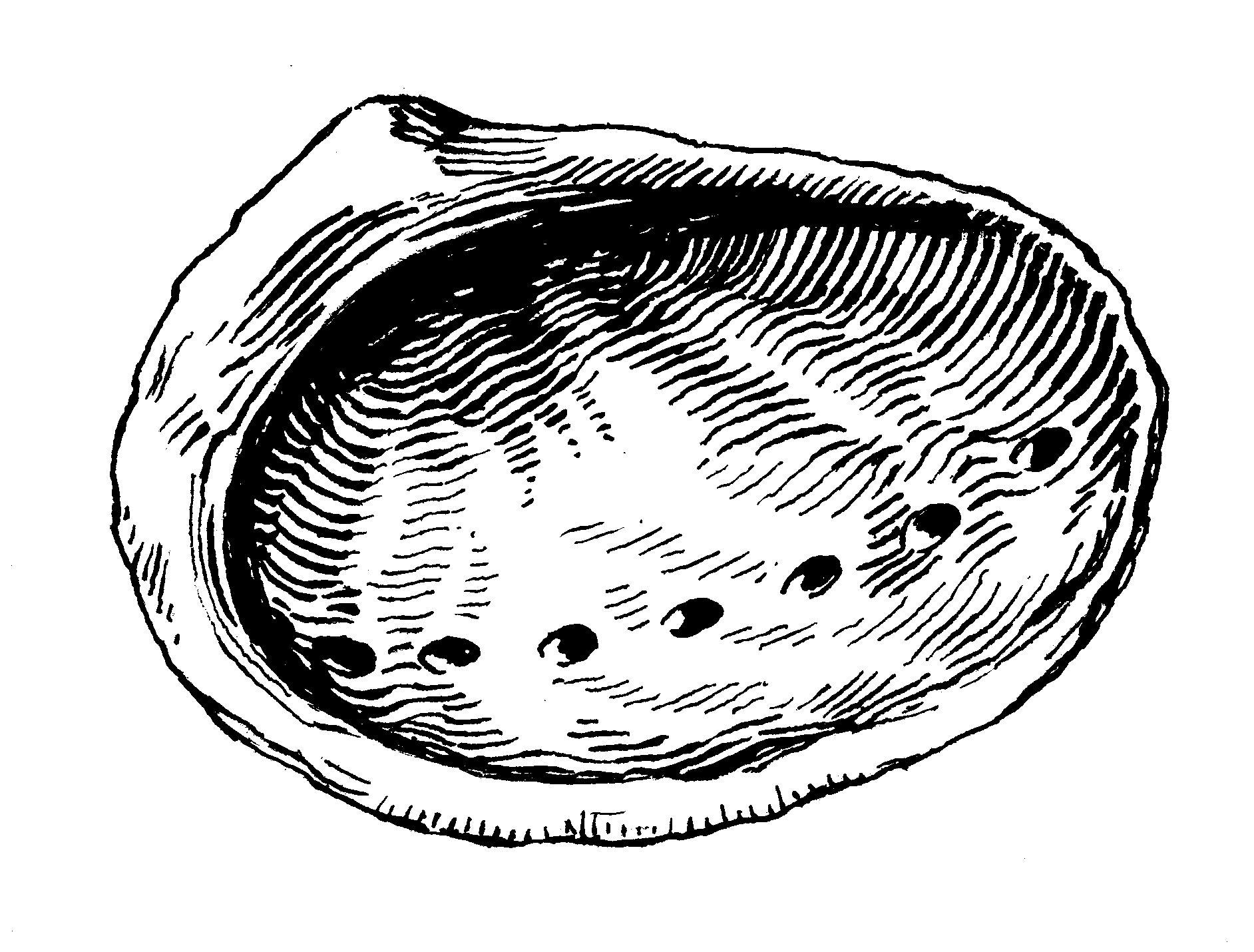 How To Draw An Abalone 5 Steps