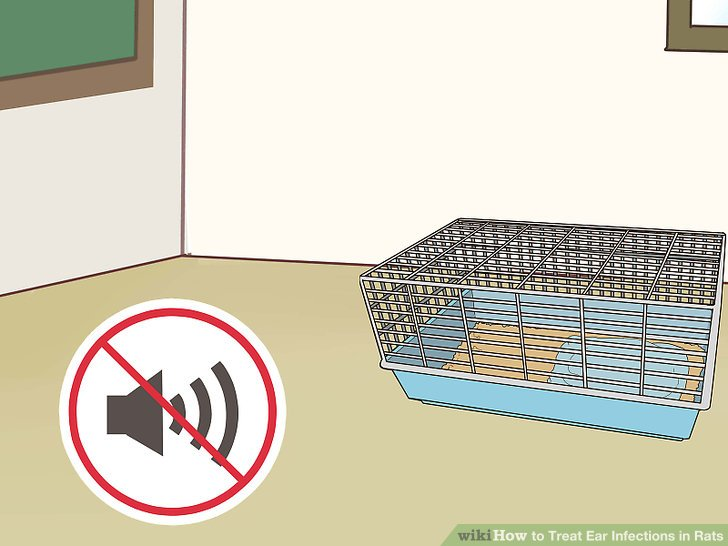 Treat Ear Infections in Rats Step 16.jpg