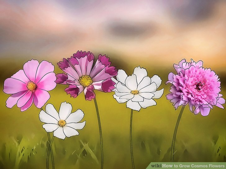 3 Ways to Grow Cosmos Flowers   wikiHow Image titled Grow Cosmos Flowers Step 1
