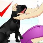 How To Train A Naughty Labrador 14 Steps With Pictures