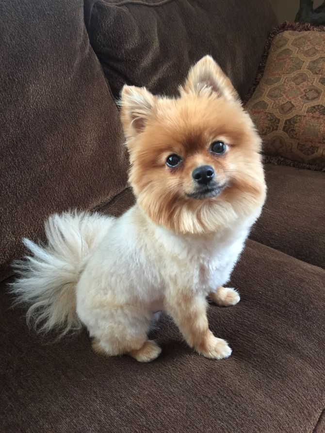 How To Groom A Pomeranian With Pictures WikiHow