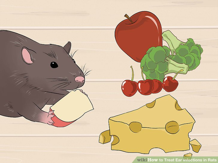 Treat Ear Infections in Rats Step 13.jpg
