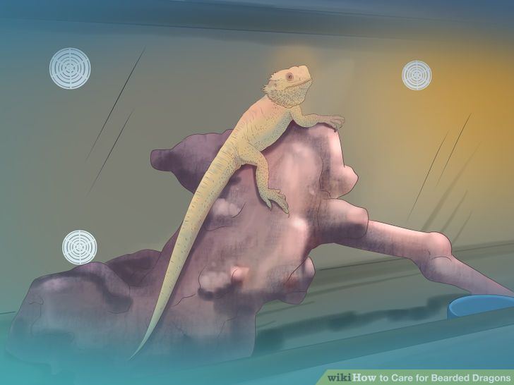 Care for Bearded Dragons Step 6 Version 3.jpg