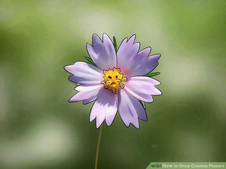 3 Ways to Grow Cosmos Flowers   wikiHow Image titled Grow Cosmos Flowers Step 3