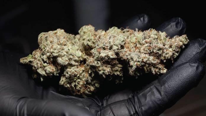 marijuana in a black glove, pot
