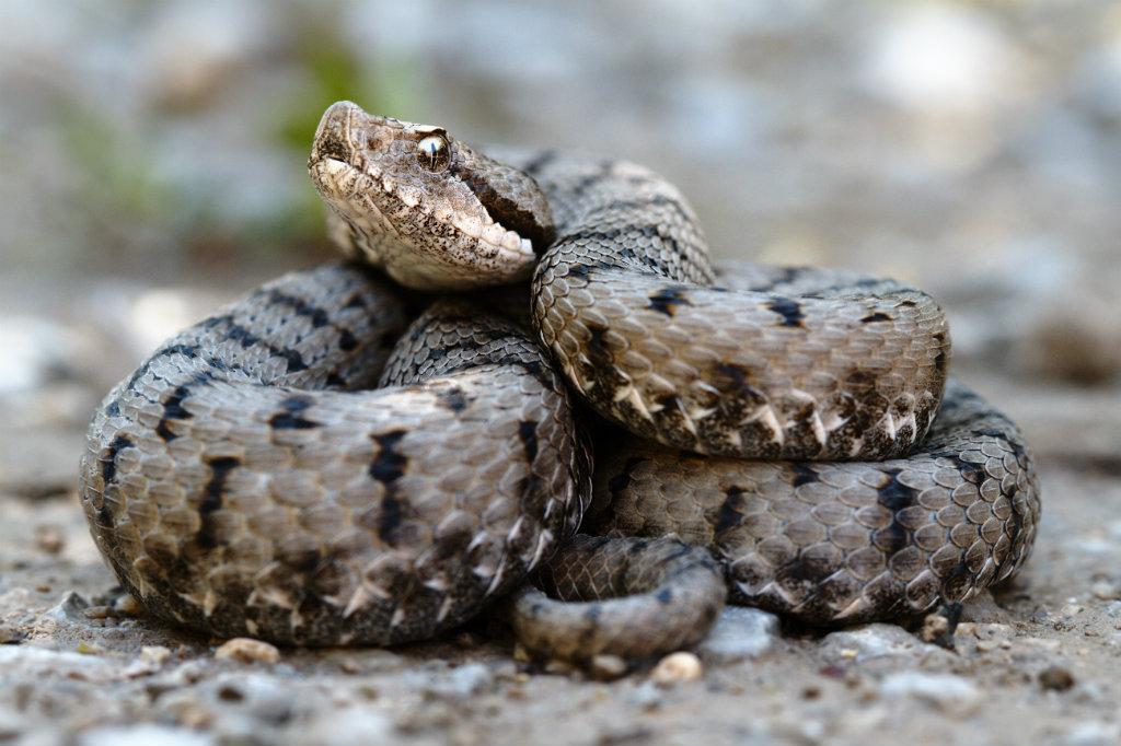"""Giftige En Niet Giftige Slangen """"serpientes"""" Die Voorkomen In Spanje"""