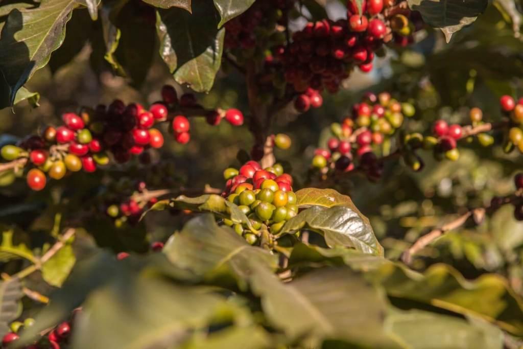 Kaffeepflanze Vulkan San Pedro
