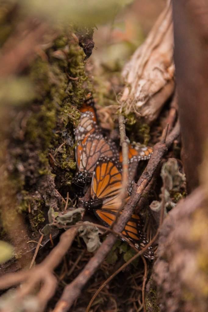 Mexiko Monarchfalter am Waldboden