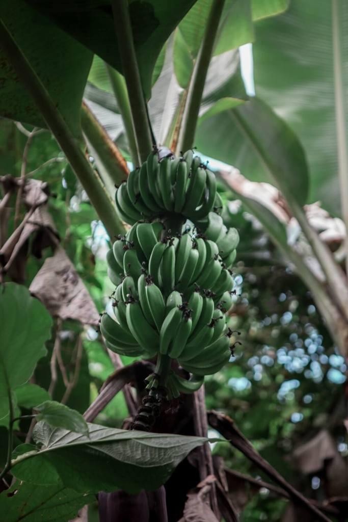 Bananenstaude Sierra Maestra