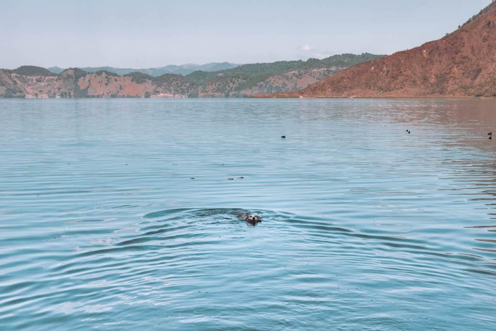 Hund schwimmt