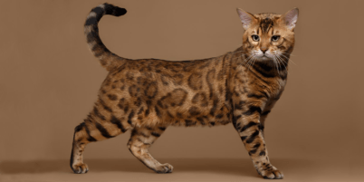LARGE EXOTIC CATS FOR SALE