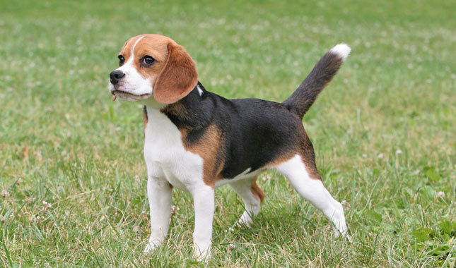 BEAGLE BREED