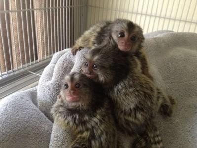 DOMESTIC MONKEYS FOR SALE AS HOUSE PETS