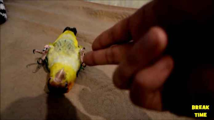 Funny parrots video