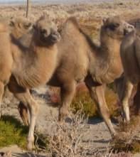Wildkamelfohlen, Zuchtstation, Mongolische Wildkamele