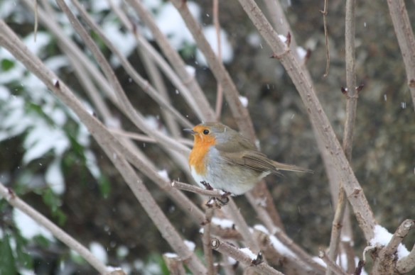 Robin in Snow - small