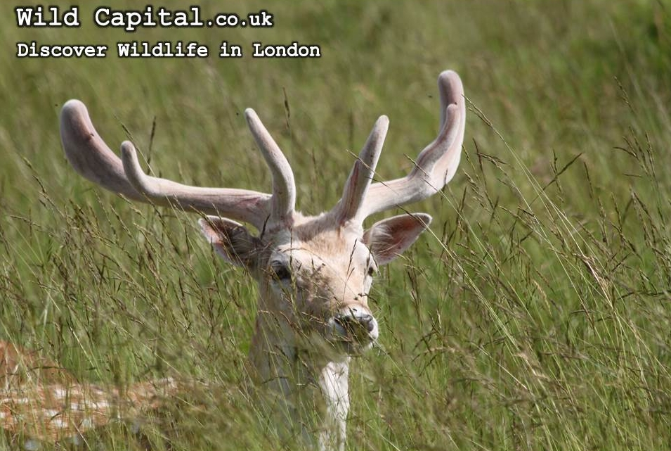 Fallow Buck with txt