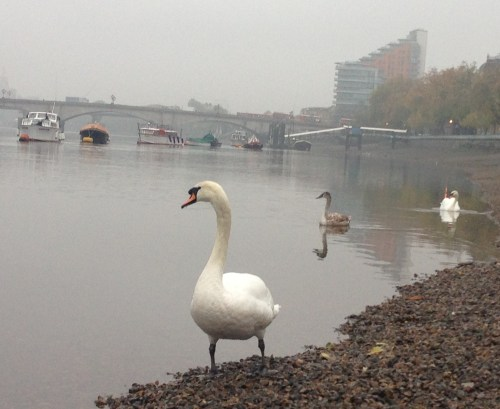 Swan family on the Thames