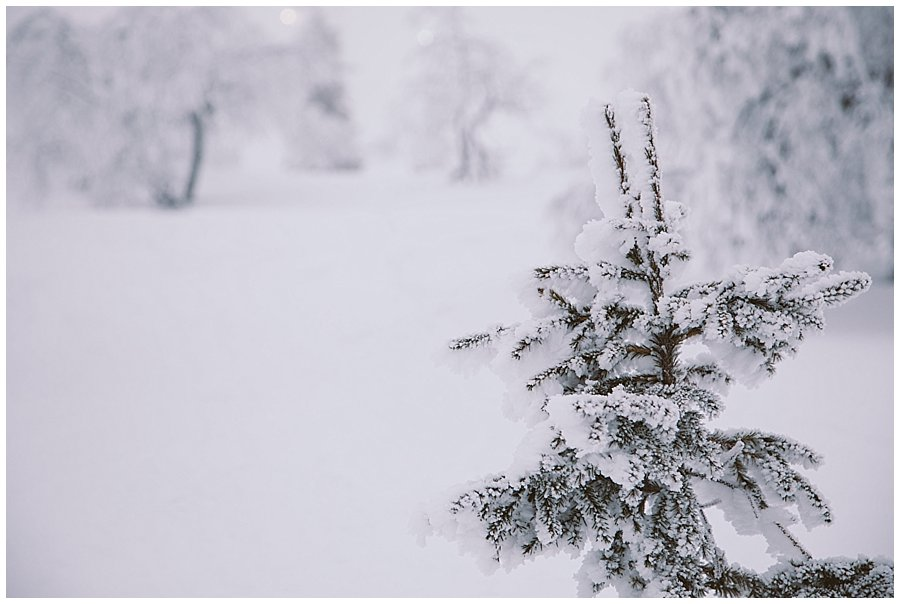 Picture of the top of a frozen pine tree in Levi Lapland by Wild Connections Photography