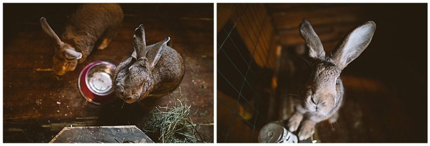 A giant rabbit stands on its back legs and looks at the camera at Santa's Pet Farm in Levi Finland by Wild Connections Photography