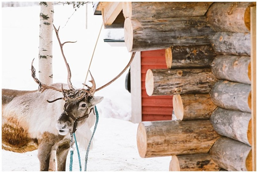 A reindeer outside a wooden cabin at Santa's pet farm in Levi Finland by Wild Connections Photography