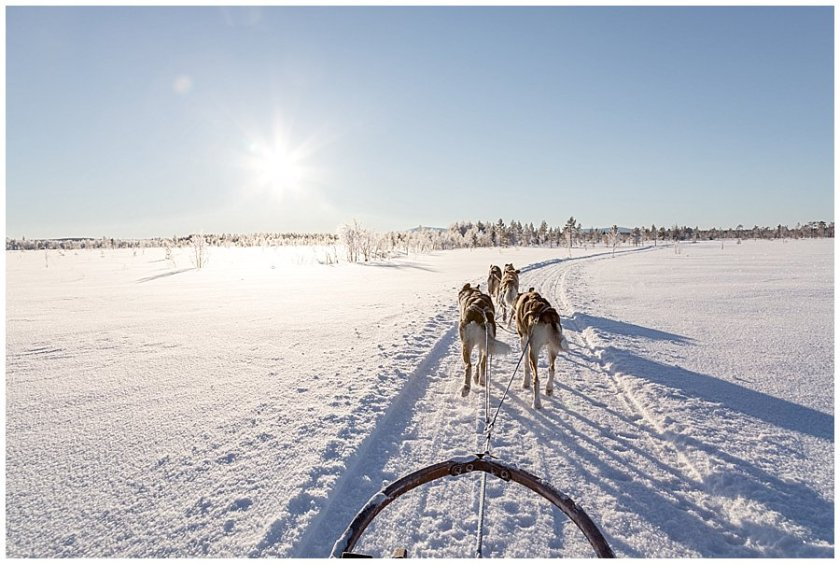 Wingrens Husky Safari dogs trot along a marked path in Lapland by Wild Connections Photography