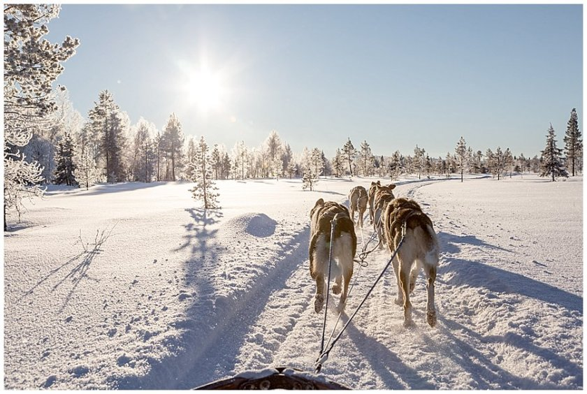 Wingrens Husky Safari Lapland dogs start to speed up on their homeward stretch
