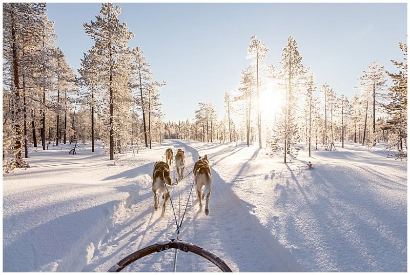 Wingrens Husky Safari Lapland dogs pull the sled through the forest while the golden light shines through the trees