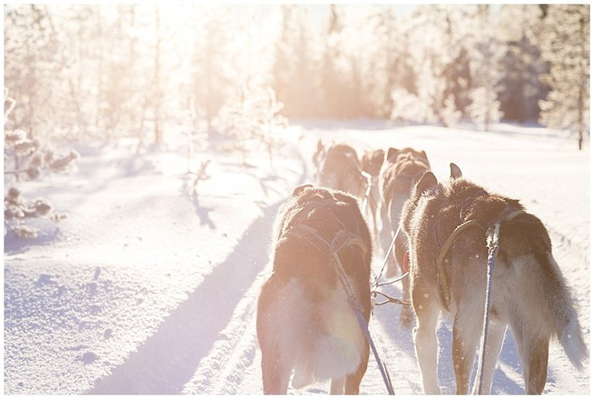 Wingrens Husky Safari Lapland close up of the dogs from behind as they pull the sled