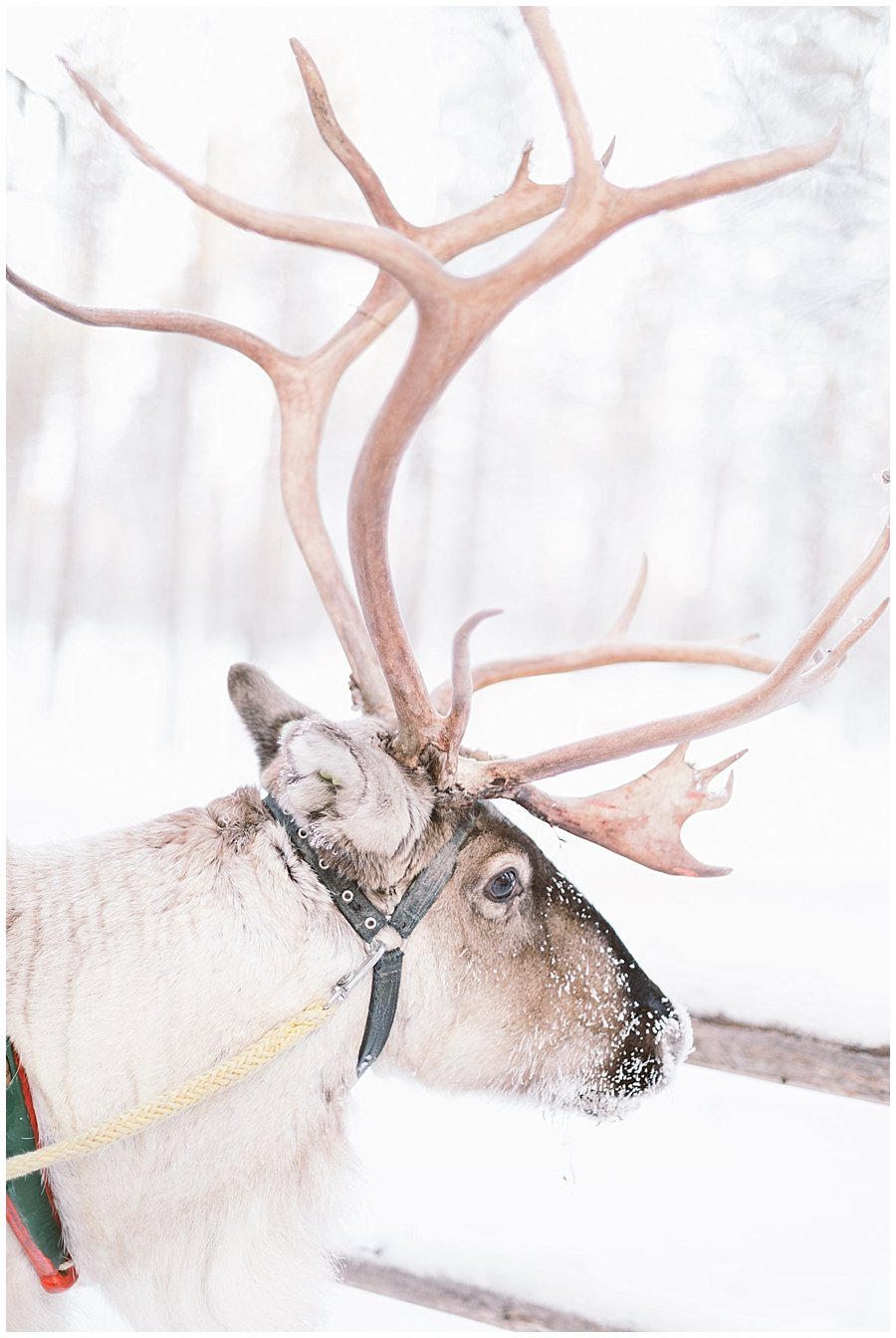 Reindeer Safari Levi Lapland reindeer with large antlers in Levi Finland by Wild Connections Photography