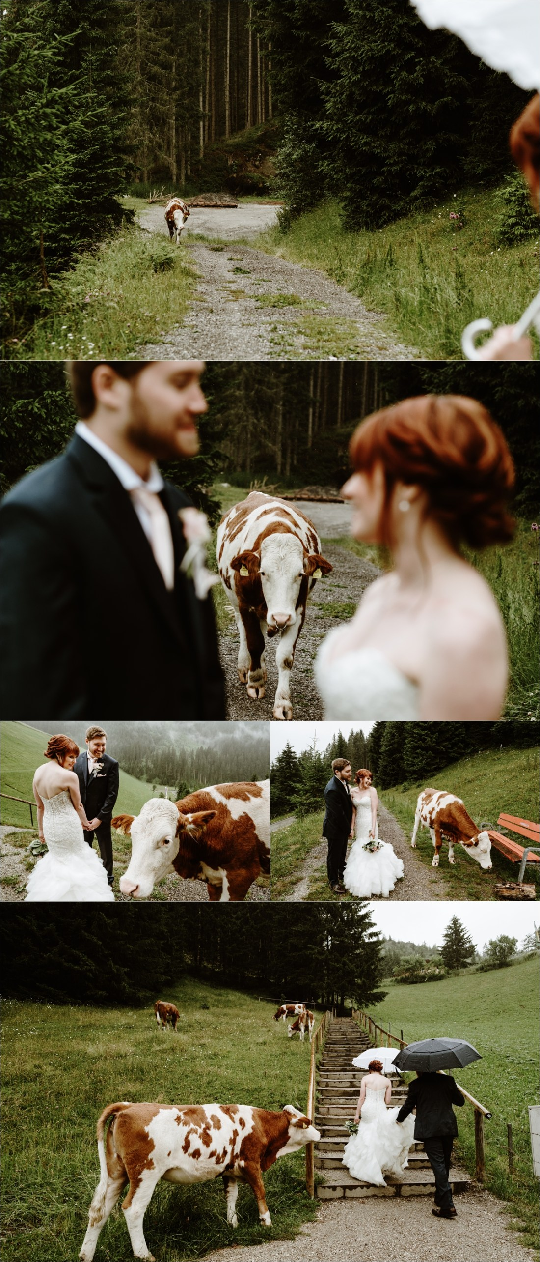 A cow follows Emma & Adam as they walk along a mountain path in Gerlos Austria after their mountain wedding. Photos by Wild Connections Photography