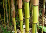 You can drain water from bamboo plants