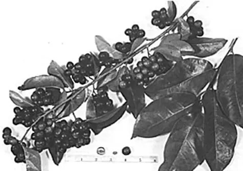 Bignay tree branch with fruit drawing