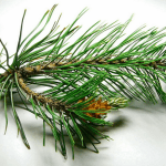 Pine tree branches and needles (leafs)