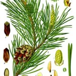 Illustration of Pine Tree components