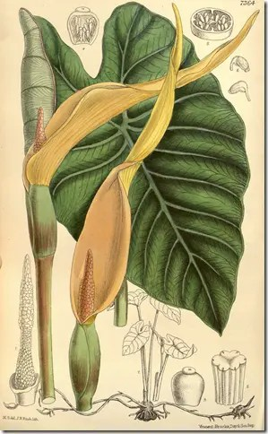 Color Drawing of the plant illustratit the leaf, stalk, and othe plant components