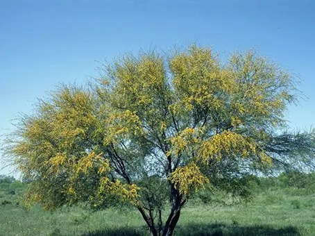 Full view of flowered Acacia tree