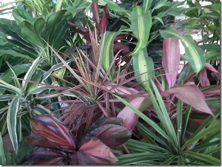Ti plant leaves can be green or purplish in color