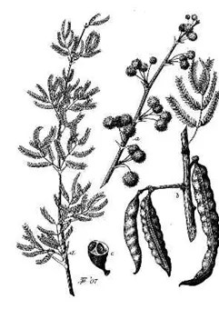 Acacia drawing of plant stem, seeds, and seedpods