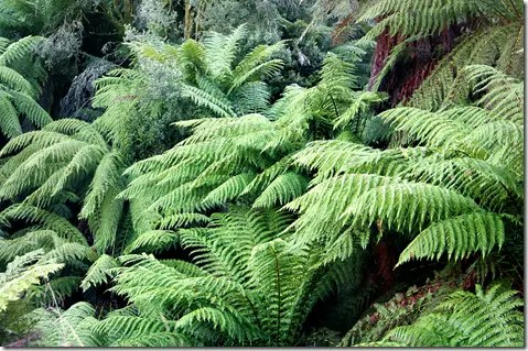 Tree Ferns growing in the wild