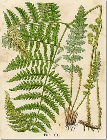 Color drawing of a Tree Fern illustrating the leaves, fronds, and root structures