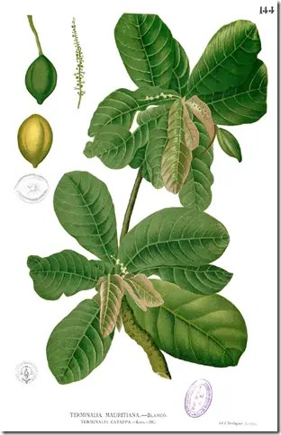 Color drawing of the Tropical Almond tree illustrating the nuts, leaves, and branches