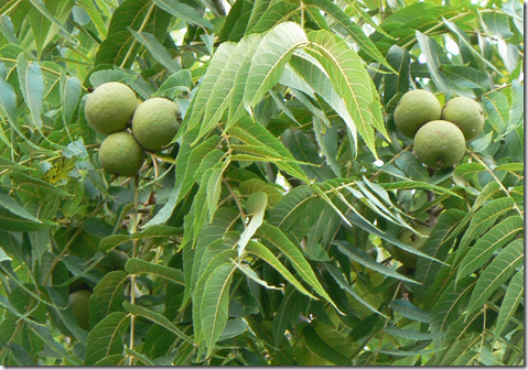 When immature (unripened), walnuts are green with leathery husks