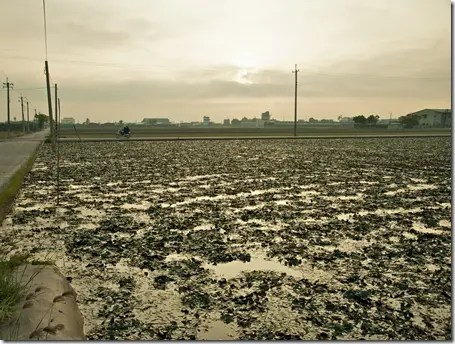 Cultivated Water Caltrop on farm