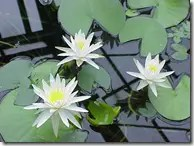Water Lily leaves and flowers
