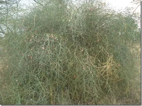 Wild Caper tree with tangled branches and berries