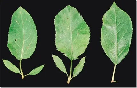 Examples of Wild Apple tree leaves
