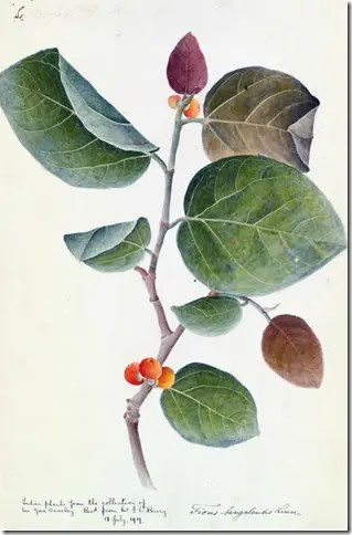 Color drawging of Ficus (Wild Fig) stem, leaves, and fruit