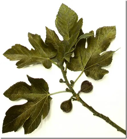 Wild Fig branch sample (lobed leaves)
